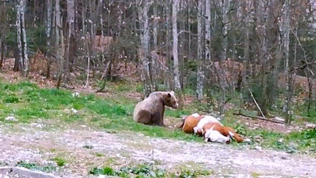 Medvedi su ponos Srbije a i vi možete da ih gledate na Tari