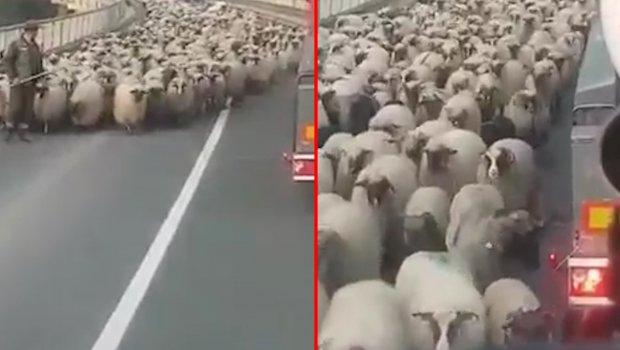 Krdo ovaca blokiralo magistralni put u Bosni