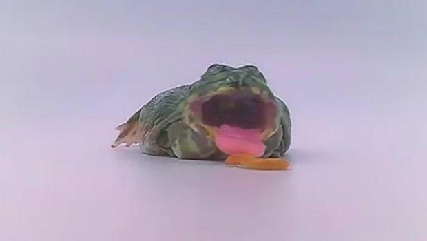 A da mi crv sam uđe u usta? Ova žaba mrzi ponedeljak