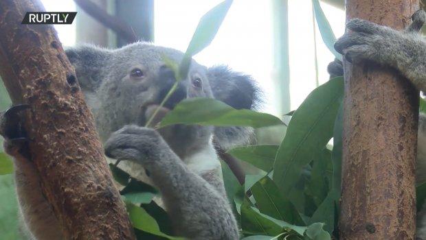 Pravo carstvo: Upoznajte šestočlanu porodicu koala