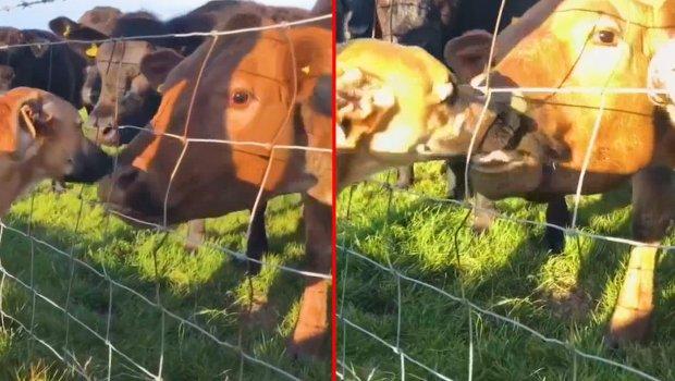 Kad se pas i krava zaljube jedno u drugo